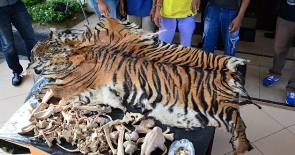 Tangkap 6 Pemburu, BPPHKLHK Sita Organ Harimau Sumatera