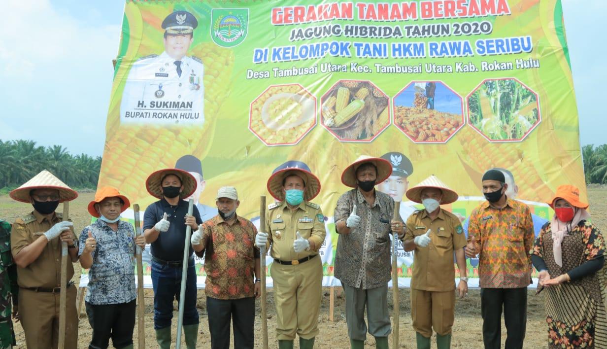 Dukung Ketahanan Pangan, Bupati Rohul H.Sukiman Bersama GM PT Torganda Riau dan Petani Tanam Jagung di Tambusai Utara.